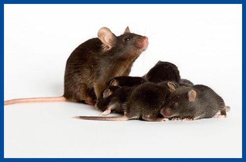 Open access Mouse model of Dravet Syndrome